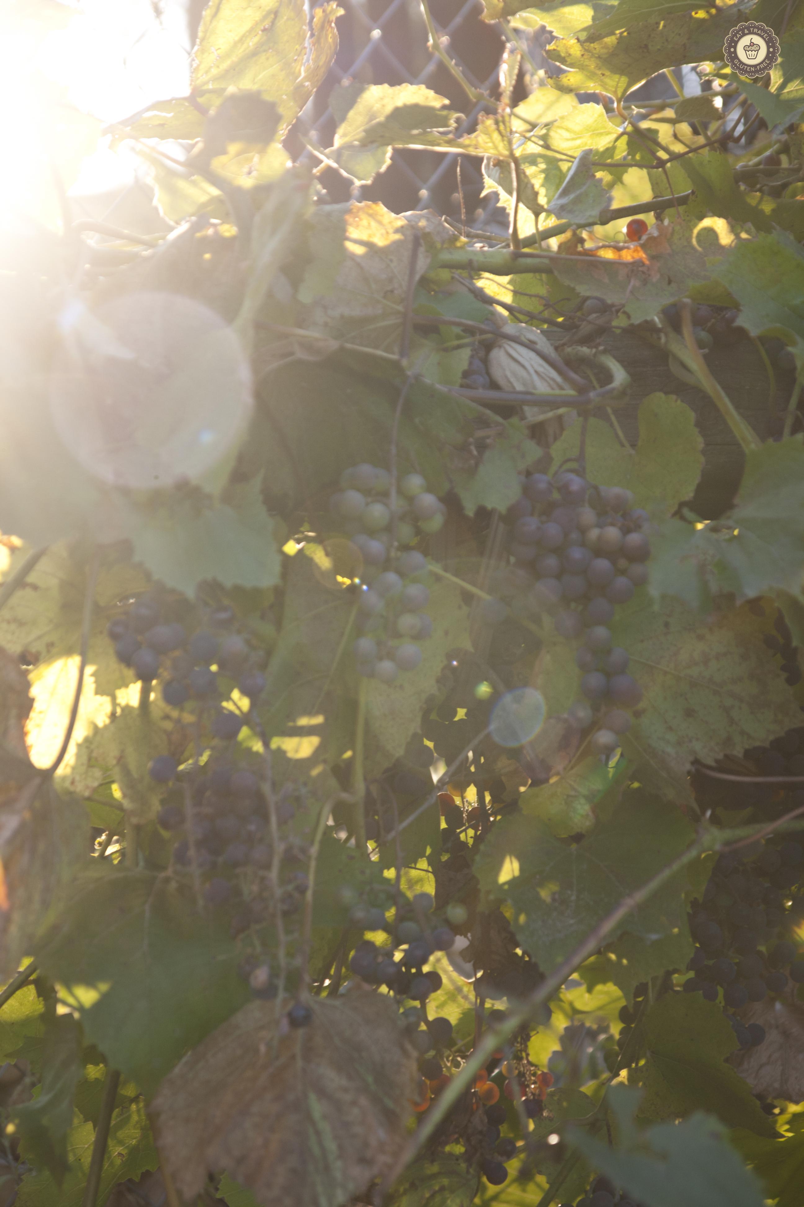 winogronka